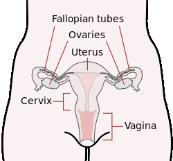 Cervical Cancer Image of uterus ovaries and fallopian tubes